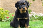 Picture of Justus / Rottweiler