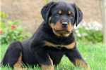 Picture of Jovi / Rottweiler