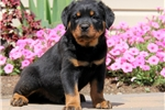 Picture of Jude / Rottweiler
