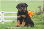 Picture of Darla / Rottweiler
