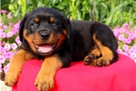 Picture of Nice / Rottweiler