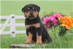 Picture of Daisy / Rottweiler