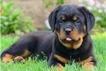 Picture of Jaron / Rottweiler