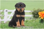 Picture of Derrick / Rottweiler