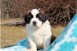 Picture of Cody / Saint Bernard