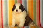 Picture of Duddly / Saint Bernard