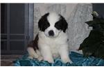 Picture of Cleo / Saint Bernard