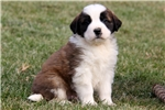 Picture of Shelby / Saint Bernard