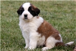 Picture of Shelly / Saint Bernard