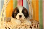 Picture of Dawson / Saint Bernard