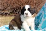 Picture of Cozy / Saint Bernard