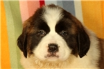 Picture of Dolly / Saint Bernard