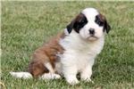 Picture of Sammy / Saint Bernard