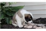 Picture of Tucker / Saint Bernard