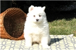 Picture of Yukon / Samoyed