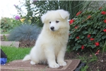 Picture of Buddy / Samoyed