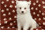 Picture of Sidney / Samoyed