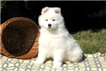Picture of Kodiak / Samoyed