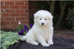 Picture of Betsy / Samoyed