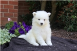 Picture of Bella / Samoyed