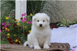 Picture of Caleb / Samoyed