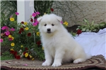 Picture of Carter / Samoyed