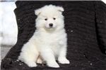 Picture of Justin / Samoyed