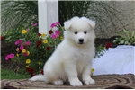 Picture of Carson / Samoyed