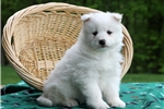 Picture of Carly / Samoyed
