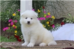 Picture of Caden / Samoyed