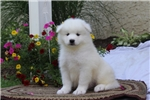 Picture of Charlie / Samoyed