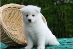 Picture of Cody / Samoyed