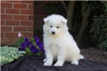 Picture of Beauty / Samoyed