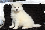 Picture of Jaden / Samoyed