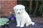 Picture of Buff / Samoyed