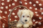 Picture of Riah / Schnoodle Miniature