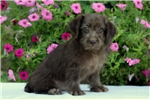 Picture of Adaline / Schnoodle Miniature