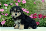 Picture of Adam / Schnoodle Miniature