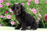 Picture of Amelia / Schnoodle Miniature