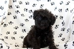 Picture of Rosa / Schnoodle Miniature