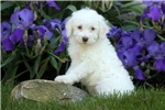 Picture of Astro / Schnoodle Miniature