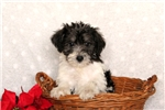 Picture of Travis / Miniature Schnoodle