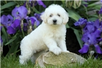 Picture of Ava / Schnoodle Miniature
