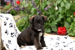 Picture of Saylor / Miniature Schnoodle