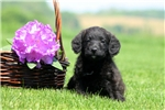 Picture of Cordy / Schnoodle Miniature