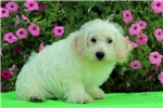 Picture of Avery / Schnoodle Miniature