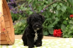 Picture of Sperry / Miniature Schnoodle