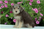 Picture of Amanda / Schnoodle Miniature