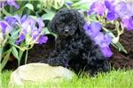 Picture of Ally / Schnoodle Miniature