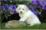 Picture of Addy / Schnoodle Miniature
